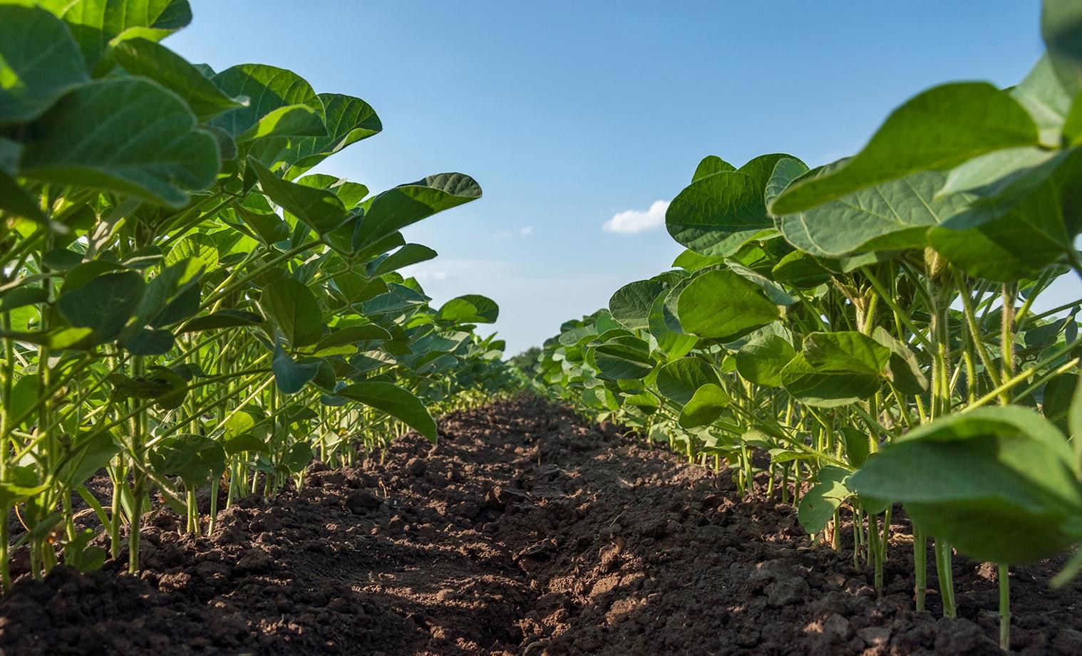 Elicit Plant est experte dans la maîtrise de l'apport des phytostérols sur les cultures en plein champ