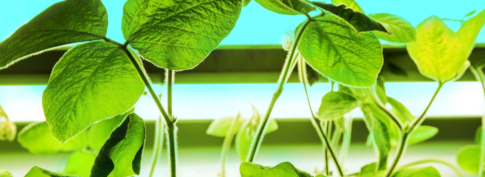 La technologie vise à réduire le stress hydrique des plantes comme le soja.