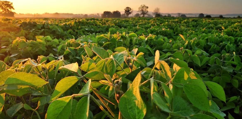 Culture de soja essai plein champ Elicit Plant